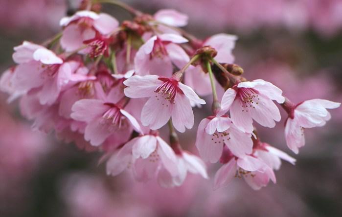 ' 15年 大宮公園   桜 ・ さくら ・ サクラ_d0150720_10868.jpg