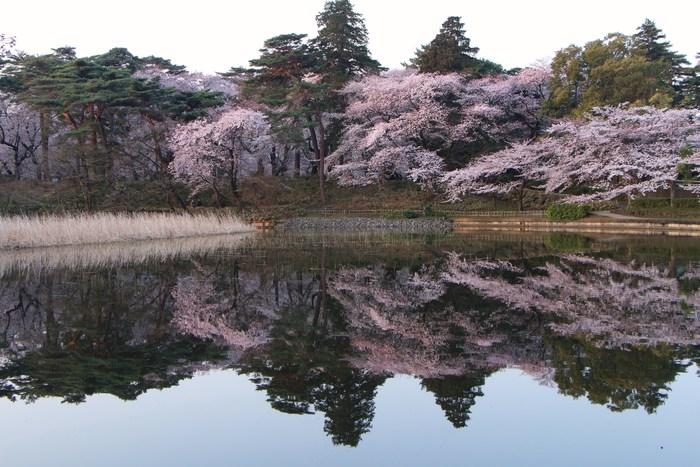 ' 15年 大宮公園   桜 ・ さくら ・ サクラ_d0150720_9584966.jpg