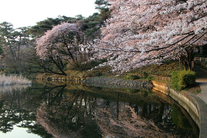 ' 15年 大宮公園   桜 ・ さくら ・ サクラ_d0150720_9591640.jpg