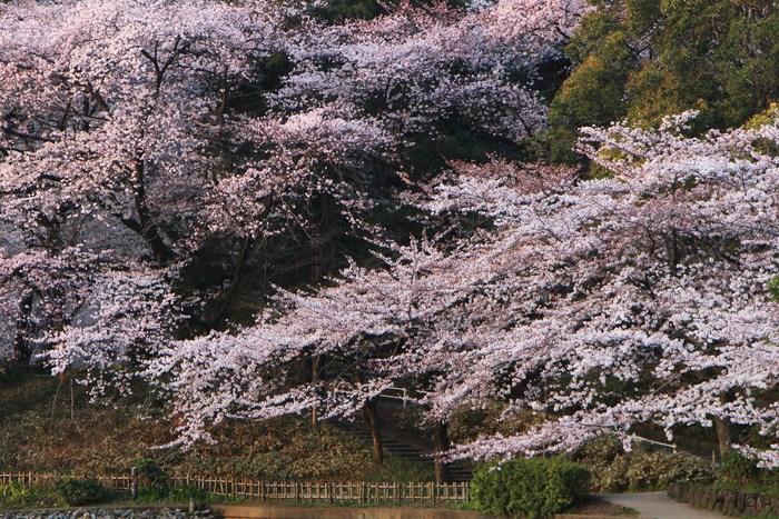 ' 15年 大宮公園   桜 ・ さくら ・ サクラ_d0150720_9594127.jpg