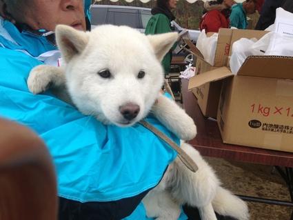 『(社) 天然記念物 北海道犬 保存会 東北大会』_f0259324_23204797.jpg