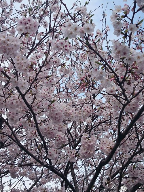 牧場の桜が満開_f0290932_15371098.jpg