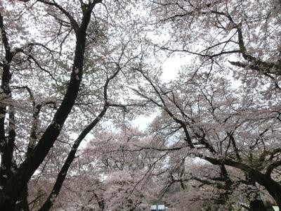 桜曇り_f0019247_1853175.jpg