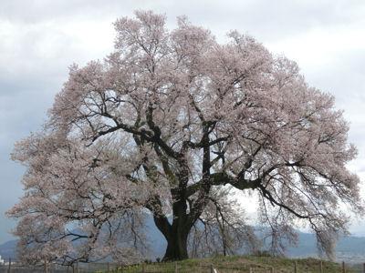 桜曇り_f0019247_18582221.jpg
