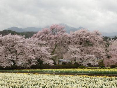桜曇り_f0019247_1924848.jpg