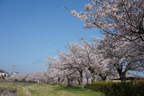 北条大池の桜開花情報、第四弾!!!_b0124462_8575429.jpg