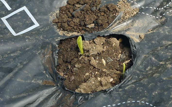アオクビダイコンは全部、トウモロコシは少し発芽:4・6_c0014967_2155546.jpg