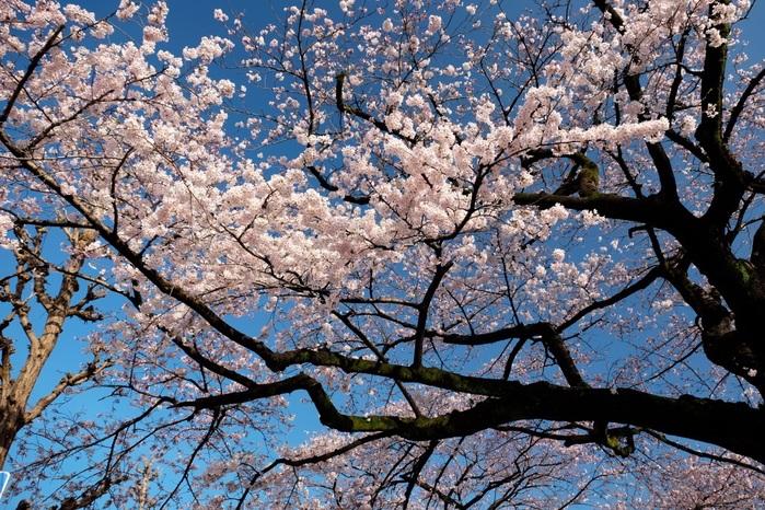 日立市平和通りの桜 2015・04・06_e0143883_17375649.jpg