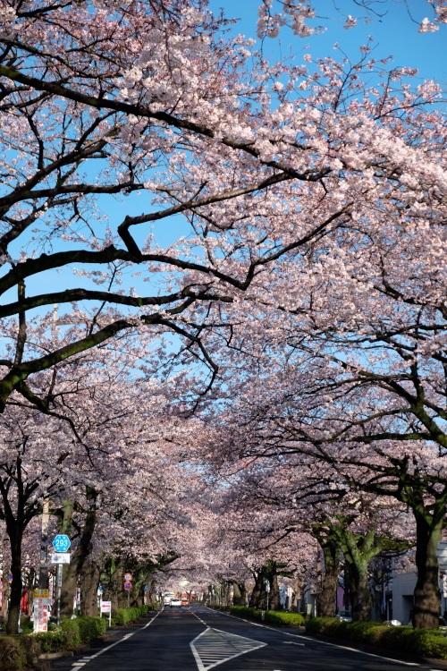 日立市平和通りの桜 2015・04・06_e0143883_17381831.jpg