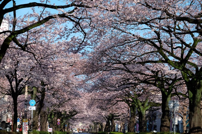 日立市平和通りの桜 2015・04・06_e0143883_17383014.jpg