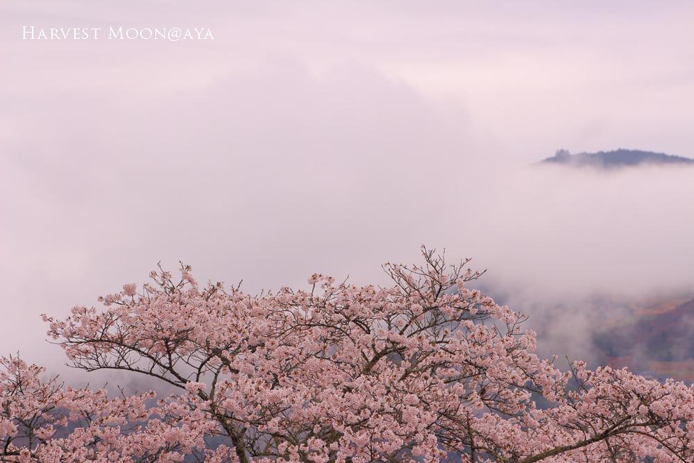 雲桜_b0208495_23165661.jpg