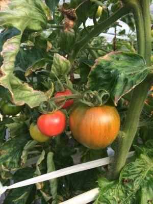 トマトの美味さ!_a0163896_1325176.jpg