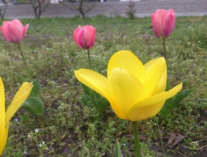 桜とユキヤナギが満開!_e0289203_8452627.jpg