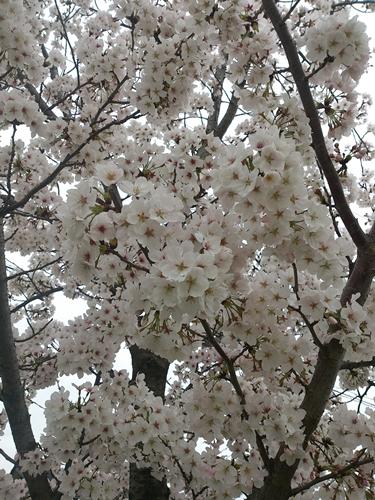 桜とユキヤナギが満開!_e0289203_8463066.jpg