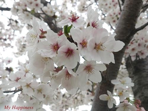 桜とユキヤナギが満開!_e0289203_8464995.jpg