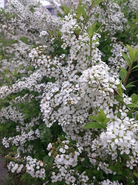 桜とユキヤナギが満開!_e0289203_8474511.jpg