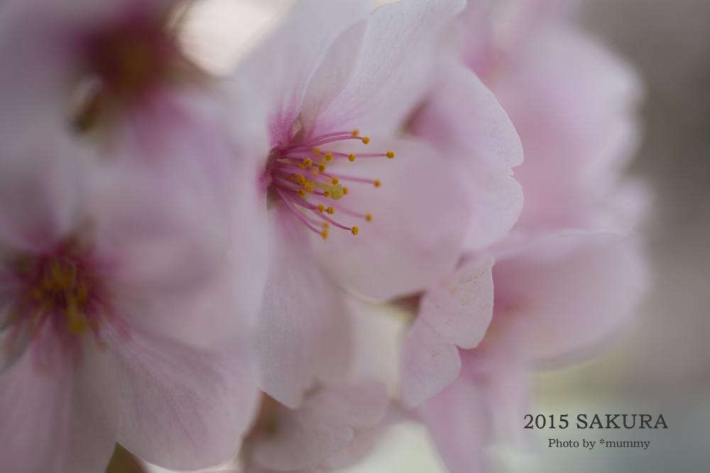 桜フォトワークショップの帰り道  ♪桜♪桜♪桜♪。。。その2_d0154507_04473942.jpg