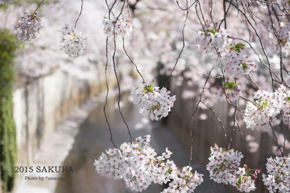 桜フォトワークショップの帰り道  ♪桜♪桜♪桜♪。。。その2_d0154507_05232279.jpg