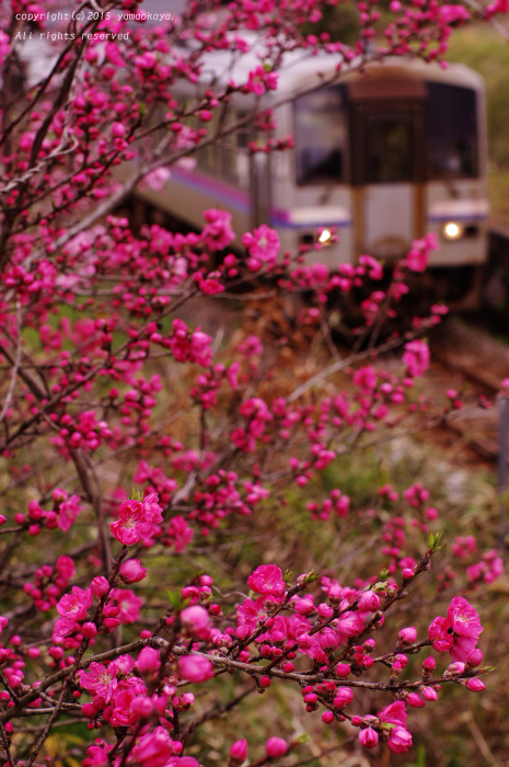 花桃の蕾開く_d0309612_0165010.jpg