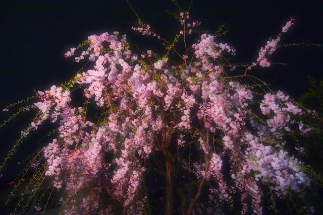 しだれ桜_d0295818_20335480.jpg