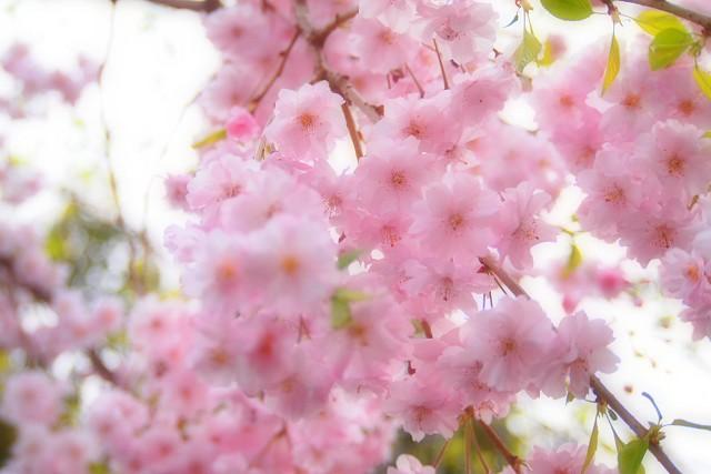 しだれ桜_d0295818_20352515.jpg