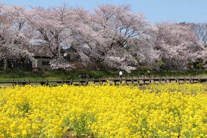 '15年 桜を楽しだ日々_d0150720_1103772.jpg