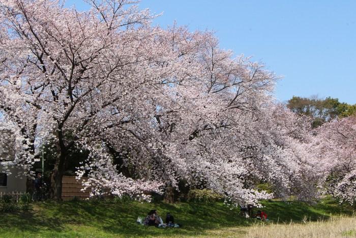 '15年 桜を楽しだ日々_d0150720_1105632.jpg