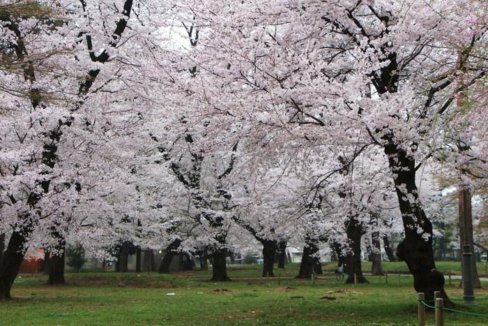 '15年 桜を楽しだ日々_d0150720_1110216.jpg