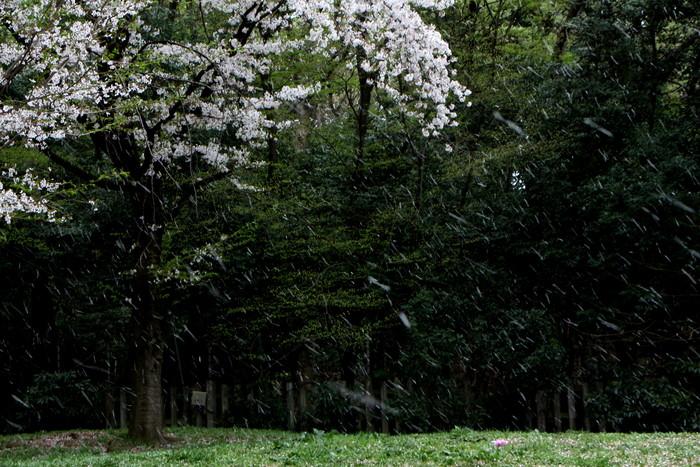 '15年 桜を楽しだ日々_d0150720_11122825.jpg