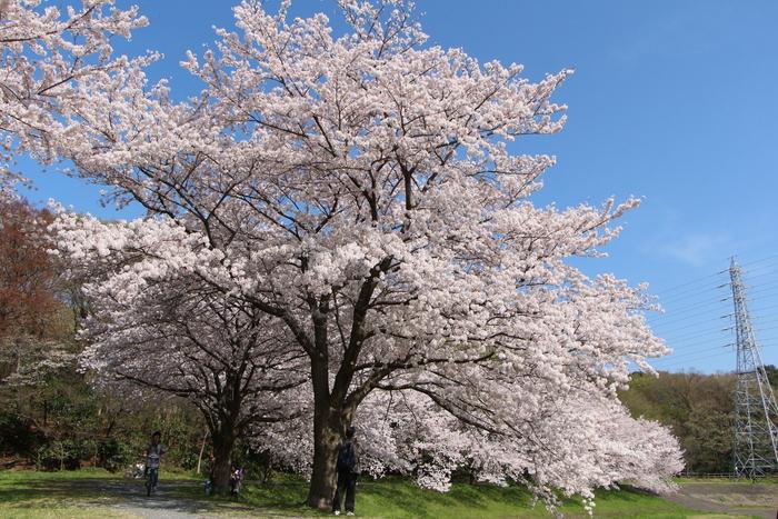 '15年 桜を楽しだ日々_d0150720_1113686.jpg