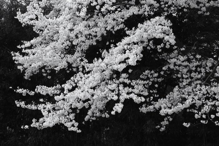 '15年 桜を楽しだ日々_d0150720_11172278.jpg