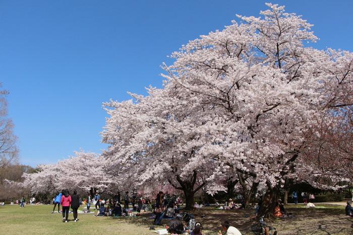 '15年 桜を楽しだ日々_d0150720_112943.jpg