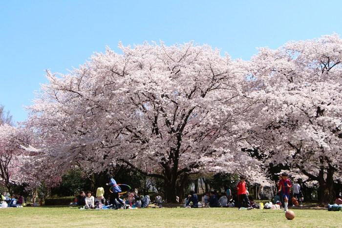 '15年 桜を楽しだ日々_d0150720_1135195.jpg