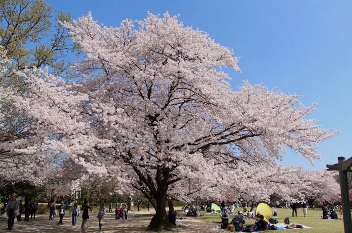 '15年 桜を楽しだ日々_d0150720_1141399.jpg