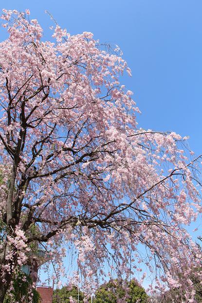 '15年 桜を楽しだ日々_d0150720_1151824.jpg