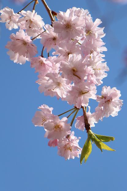 '15年 桜を楽しだ日々_d0150720_1153251.jpg