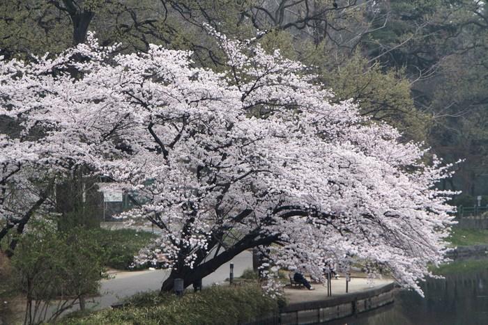 '15年 桜を楽しだ日々_d0150720_1173826.jpg