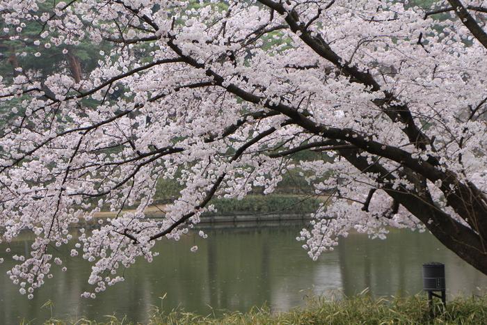 '15年 桜を楽しだ日々_d0150720_1184553.jpg