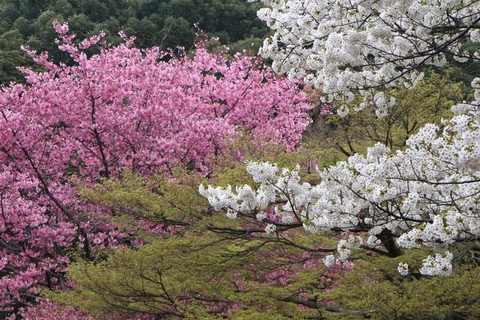 '15年 桜を楽しだ日々_d0150720_119244.jpg