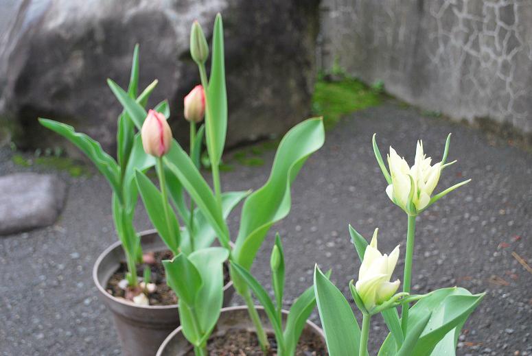 桜とチューリップ_f0067122_09475744.jpg