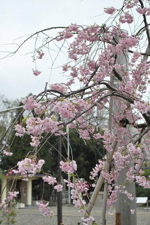 桜とチューリップ_f0067122_09475760.jpg