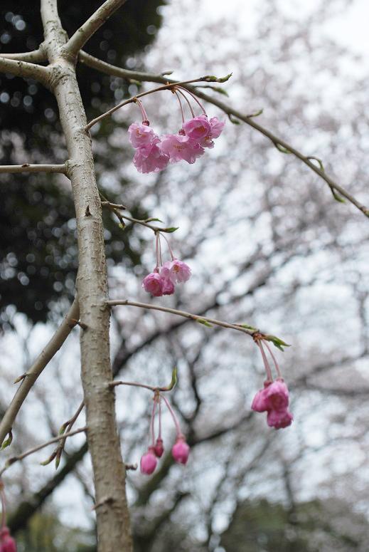 桜とチューリップ_f0067122_09482909.jpg