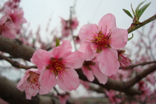 桃の花  めしべ・おしべ_f0325525_08163317.jpg