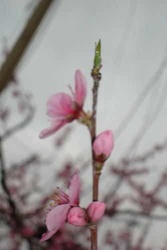 桃の花  めしべ・おしべ_f0325525_08181784.jpg