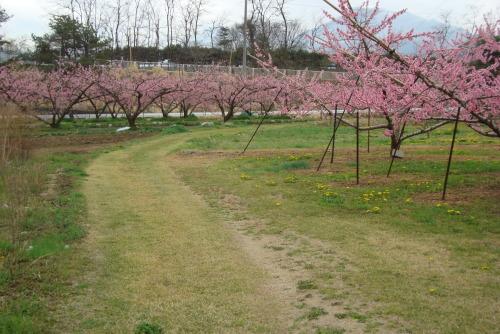 桃の花  めしべ・おしべ_f0325525_08201877.jpg