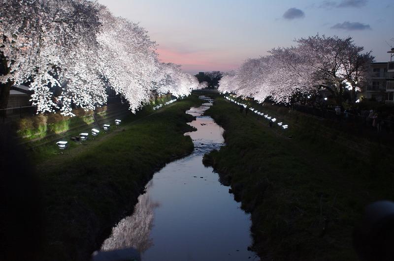 野川の桜(その3)☆夕焼けと桜ライトアップのコラボ_a0122932_12211918.jpg