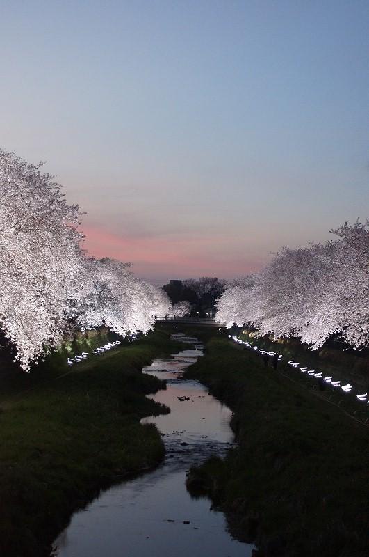 野川の桜(その3)☆夕焼けと桜ライトアップのコラボ_a0122932_12214182.jpg
