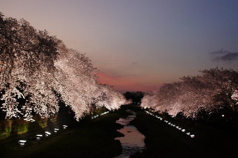 野川の桜(その3)☆夕焼けと桜ライトアップのコラボ_a0122932_1221563.jpg