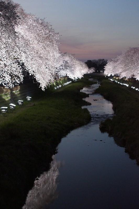 野川の桜(その3)☆夕焼けと桜ライトアップのコラボ_a0122932_12221154.jpg