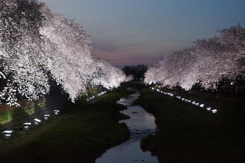 野川の桜(その3)☆夕焼けと桜ライトアップのコラボ_a0122932_12222846.jpg